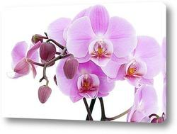 Картина Орхидея Фаленопсис