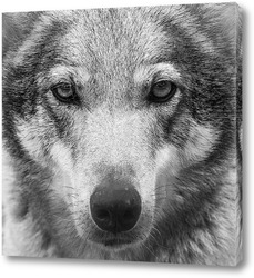 Волчьи глаза