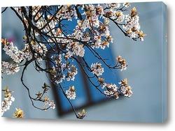 В моём городе сакура цветёт