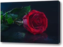 "Картина ""красная роза на черном фоне""."
