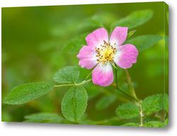 Картина Цветок шиповника с каплями росы