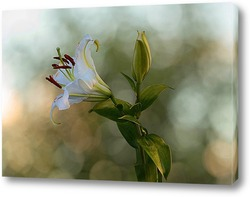 Картина Белая лилия