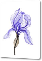 Картина Прозрачный синий ирис