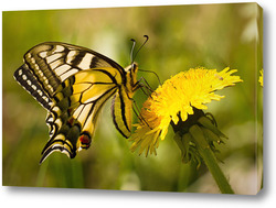 Картина Бабочка на цветке одуванчика