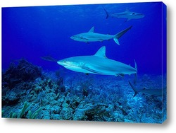 shark008