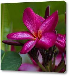 Картина Цветок плюмерии