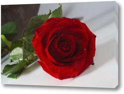 "Картина ""красная роза на белом  фоне""."