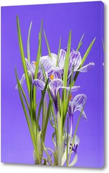 Картина Куст крокуса весеннего (шафрана) на фиолетовом фоне