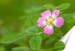 Постер Цветок шиповника с каплями росы