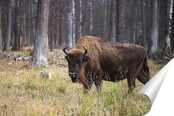 Постер Зубр в лесу