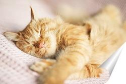 Постер Спящий кот породы Мейн-Кун