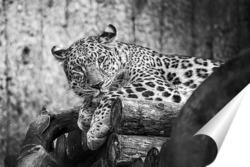 Постер дальневосточный леопард