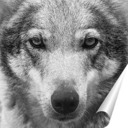Постер Волчьи глаза