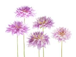 Наклейки Фиолетовые пионы